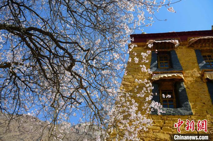 图为拉�帕邦喀桃花盛开。 贡��� 摄