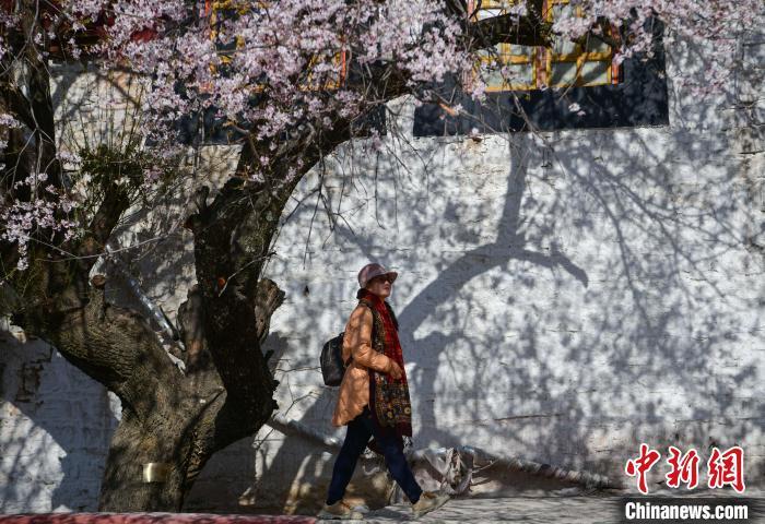 图为游客在桃花树下�花。 贡��� 摄
