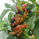 汝州市临汝镇千亩樱桃进入采摘季节