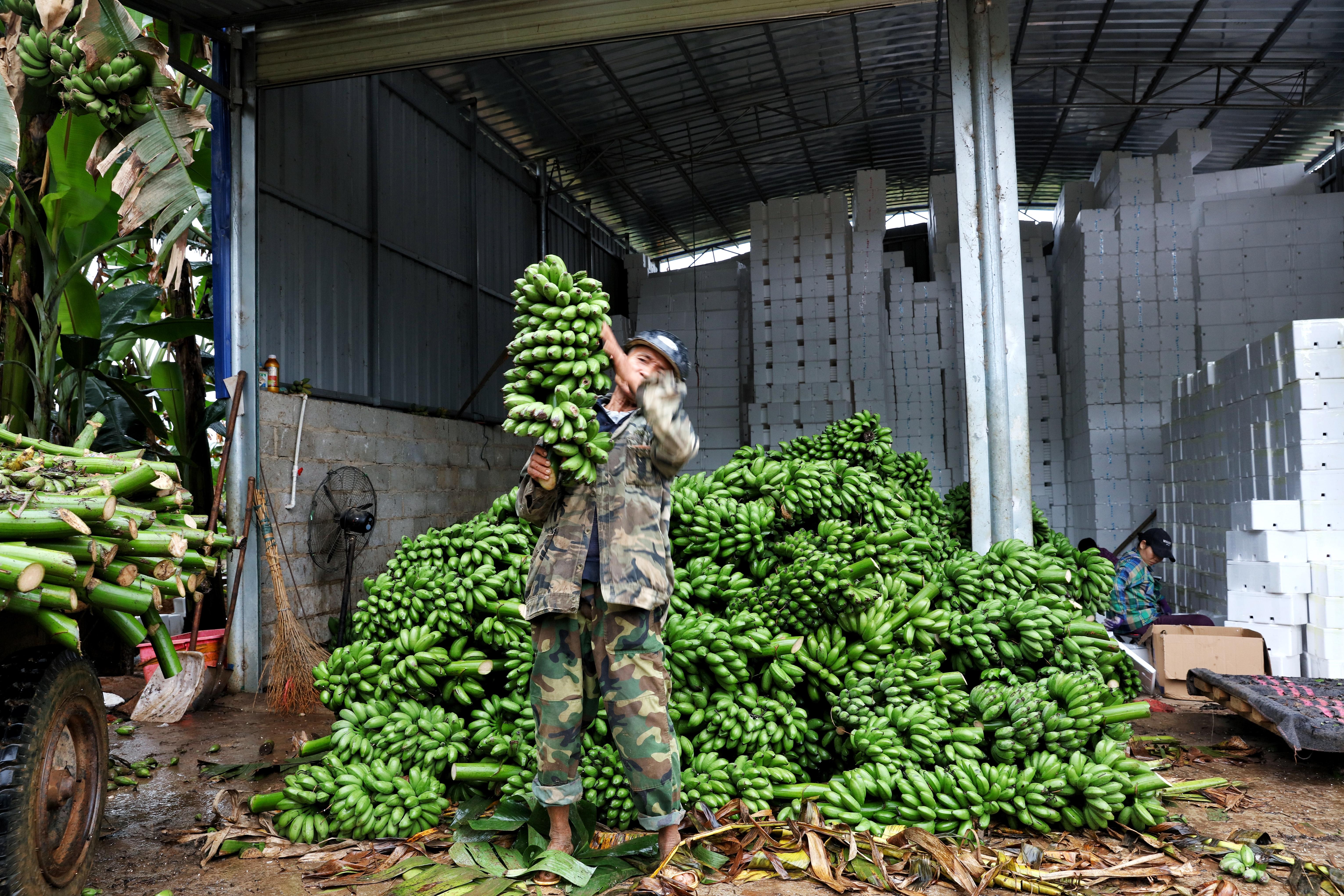 广西小米蕉发展成为大产业:收购价3年翻3倍,农户年收入20万