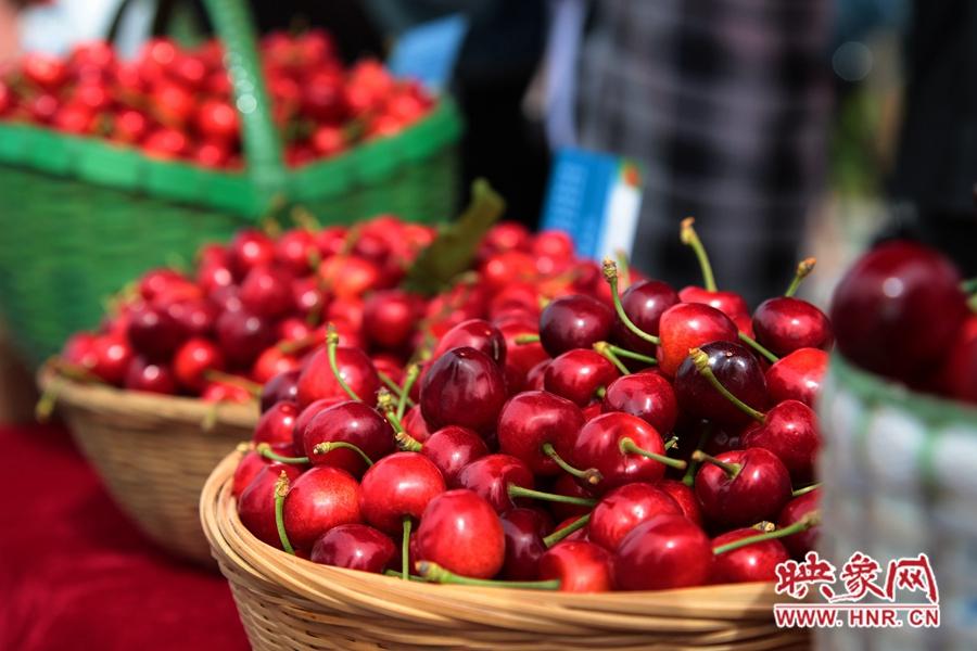 又是一年樱桃红 第十五届郑州樱桃文化节启幕