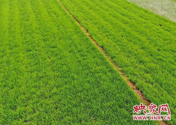 淮滨:秧苗又绿淮河岸