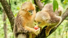 川金丝猴萌态十足惹人爱