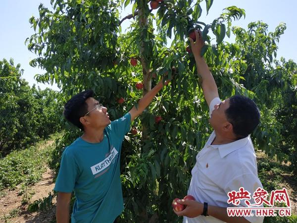 鲁山县 : 返乡创业种黄桃 带动就业效益高