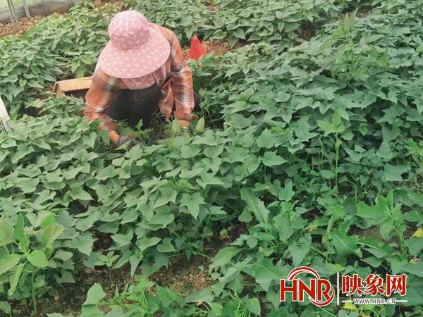 """宜阳:苕尖变""""金叶"""" 特色农业新秀迭出"""