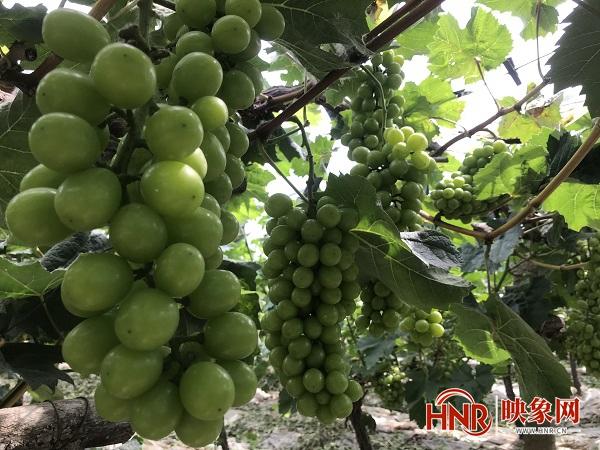 """淮滨:葡萄树下结""""金果"""" 甜蜜事业兴乡村"""