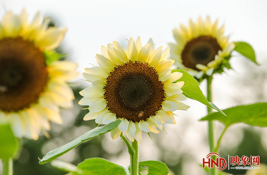 小暑时节 向阳而生