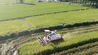 """万亩再生稻 """"生""""出农民增收新希望"""
