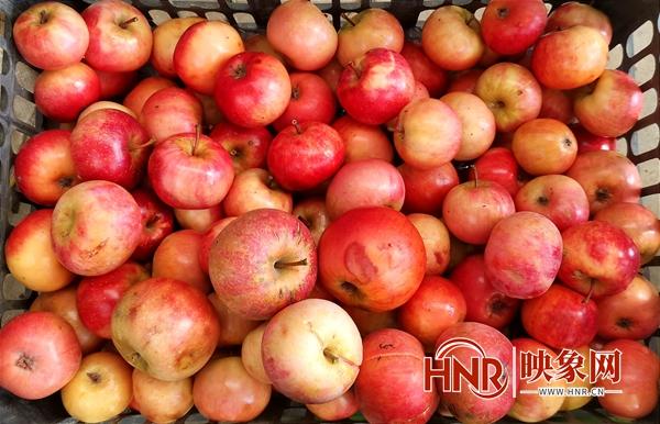 驻马店泌阳:夫妇返乡种苹果 昔日荒山变金山