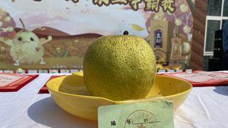 """宁陵:金秋结硕果 """"云逛""""酥梨园"""