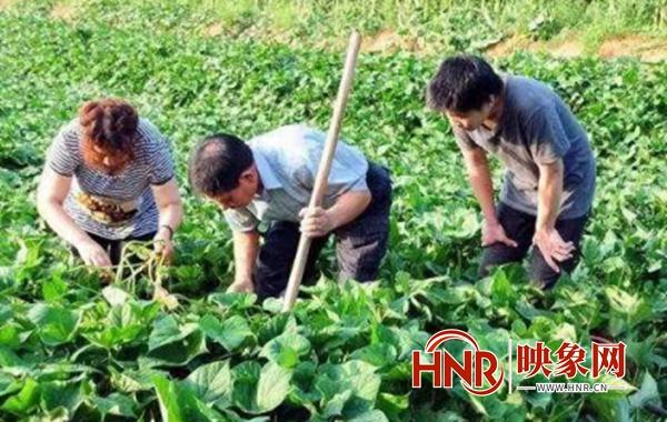 尉氏县永兴镇:做强红薯产业链 拓宽乡村振兴路