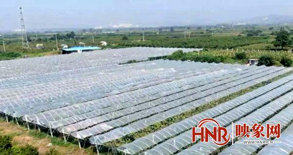 许昌:禹州市阳光玫瑰葡萄园里的阳光青年