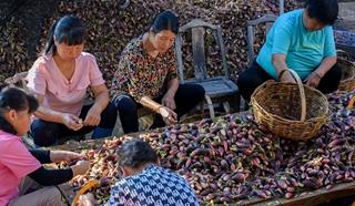 新县产业基地:1500亩阳荷姜喜获丰收