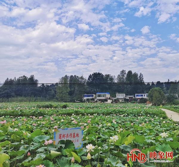 """罗山县:振兴""""荷莲""""经济  助力美丽乡村"""