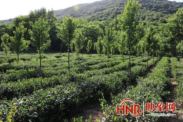 南阳桐柏县:全力推动林下经济发展 助力农民增收