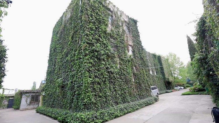 """长势旺盛!洛阳一办公楼被绿植包裹成""""天然空调"""",令人心旷神怡"""